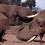 I deputati chiedono il divieto di commercio di avorio e sanzioni contro il traffico di fauna selvatica