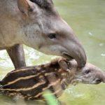 Al Bioparco di Roma è nato un tapiro sudamericano | Foto credit: Archivio Bioparco – M. Di Giovanni