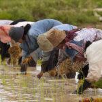 Giansanti (Confagricoltura): La sospensione dei dazi sulle importazioni dalla Cambogia deve riguardare anche il riso